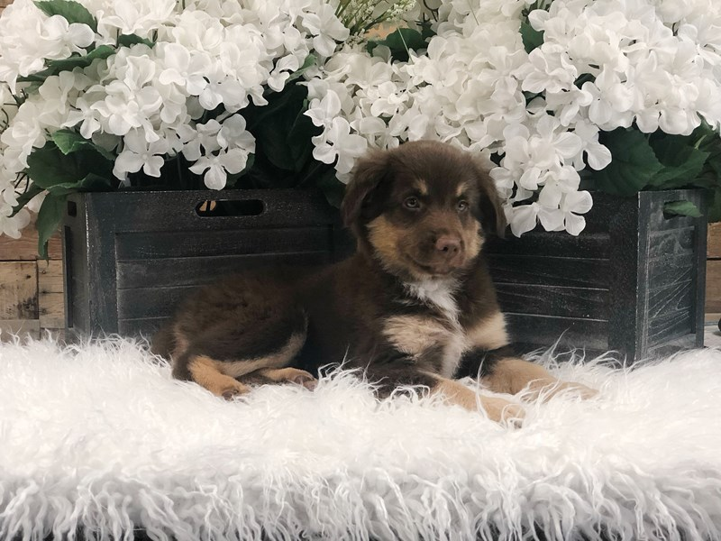 Miniature Australian Shepherd-Male-Red-2425243-The Barking Boutique