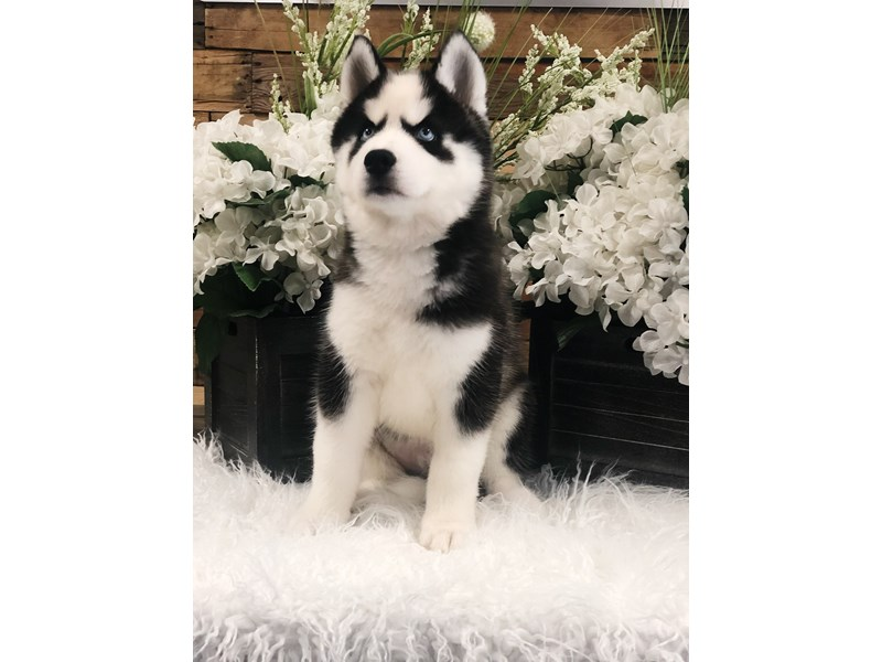 Siberian Husky-Male-Black / White-2425076-The Barking Boutique