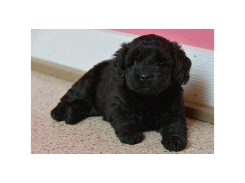 Mini Goldendoodle-Female-Black-2431008-The Barking Boutique