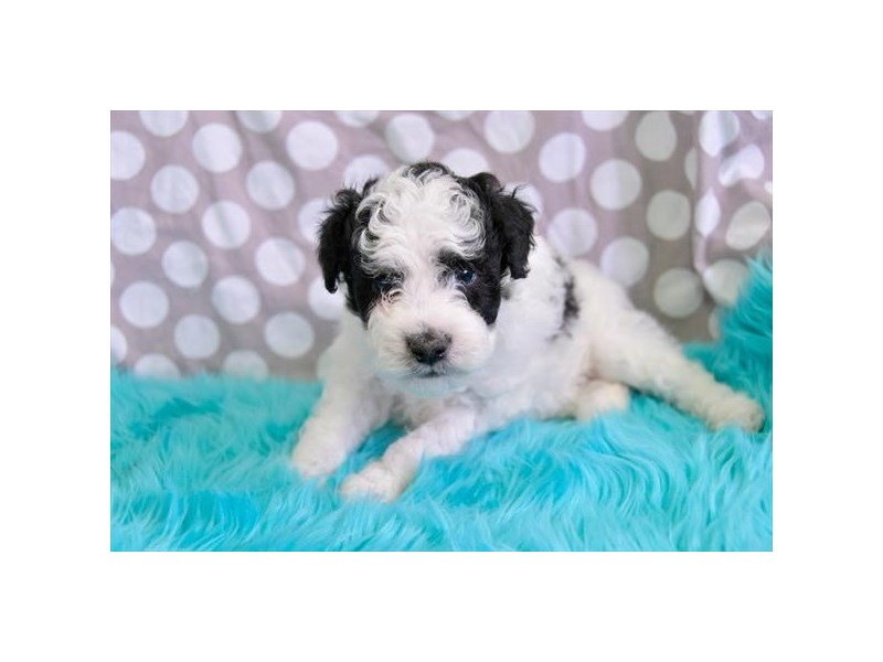 Miniature Poodle-Male-Black / White-2431142-The Barking Boutique