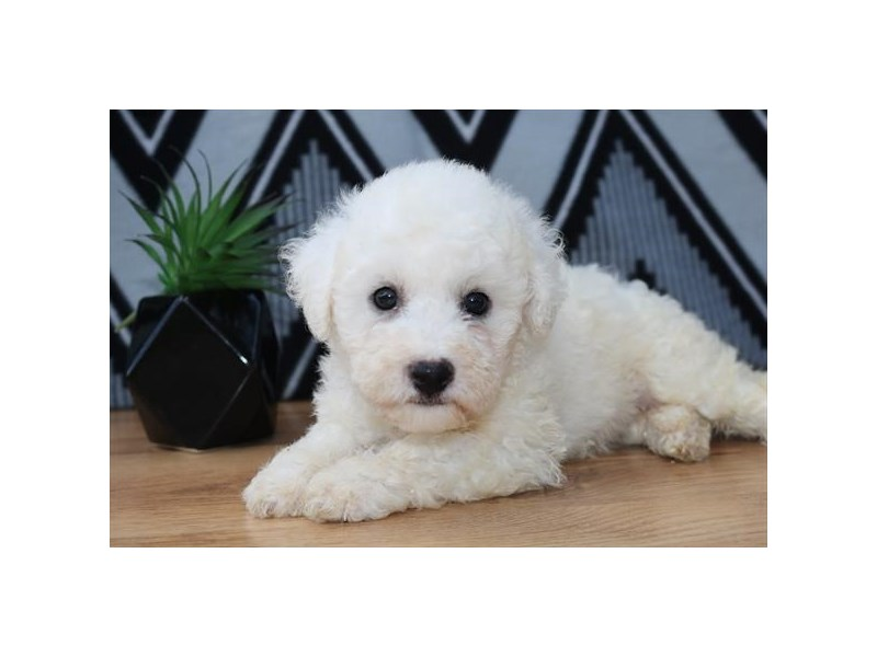 Bichon Frise-Male-White-2437531-The Barking Boutique