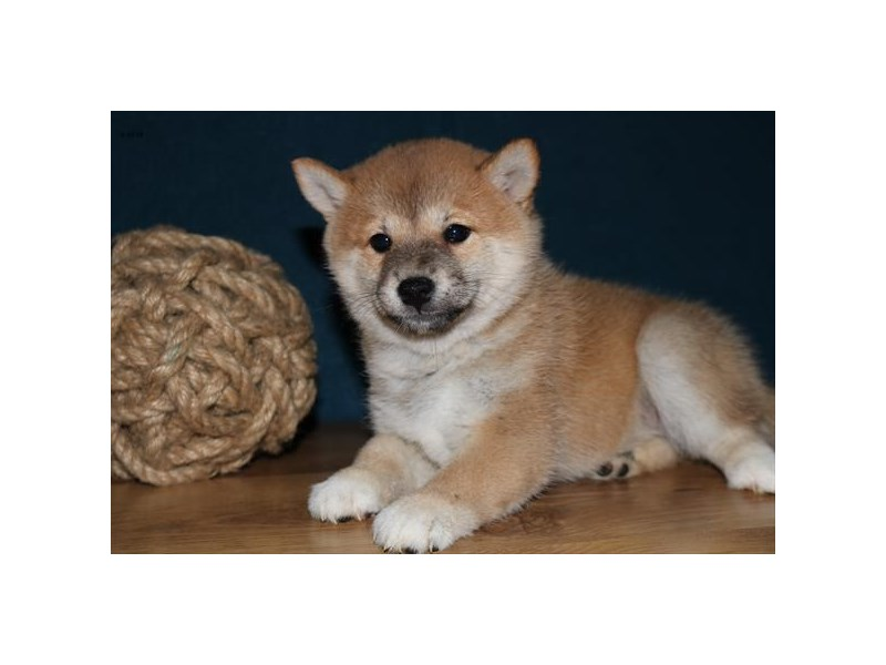Shiba Inu-Female-Red-2443311-The Barking Boutique