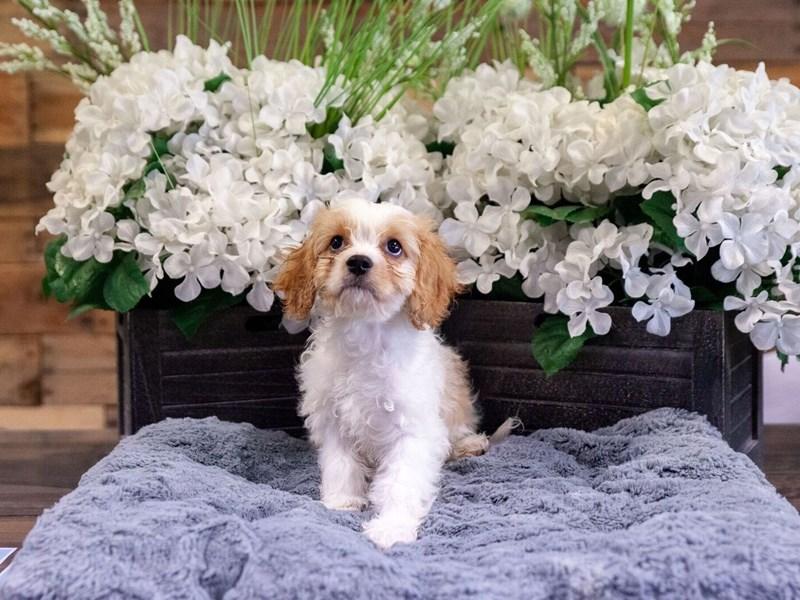 F1B Cavachon-Female-Cream and White-2418393-The Barking Boutique