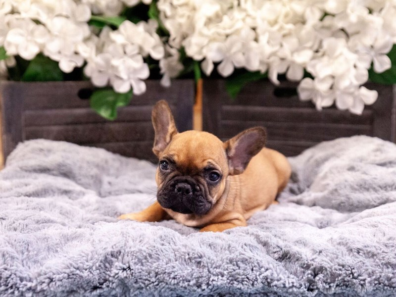 French Bulldog – Princeton