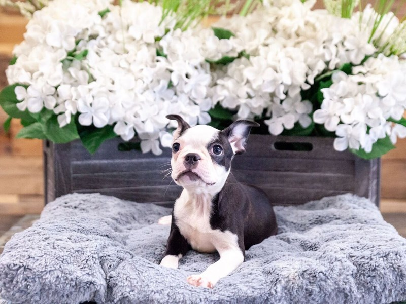 Boston Terrier-Female-Brindle / White-2437387-The Barking Boutique