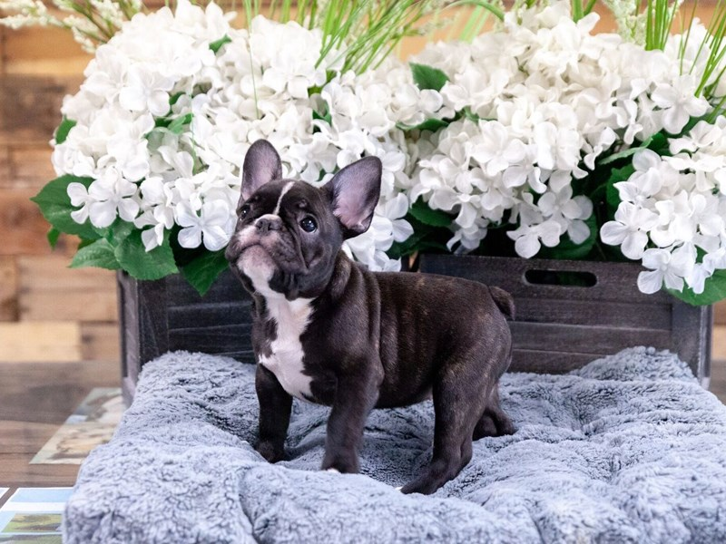 French Bulldog-Female-Brindle-2437391-The Barking Boutique