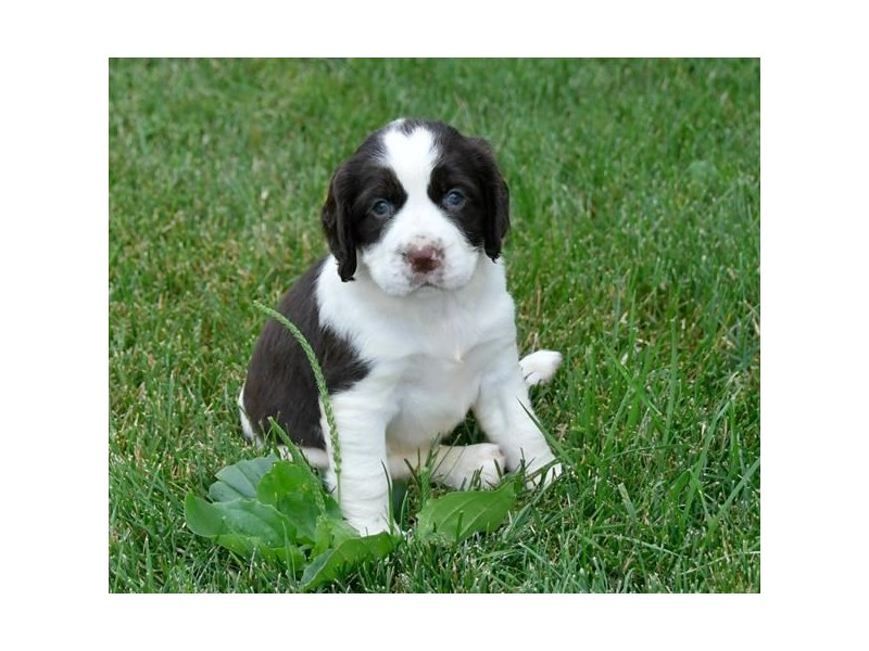 English Springer Spaniel-Female-Liver / White-2443309-The Barking Boutique