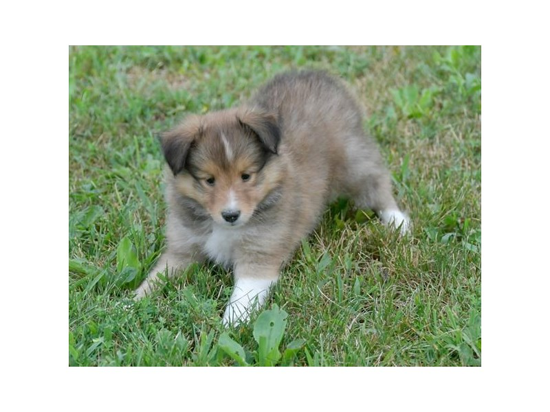 Shetland Sheepdog-Male-Sable / White-2443310-The Barking Boutique