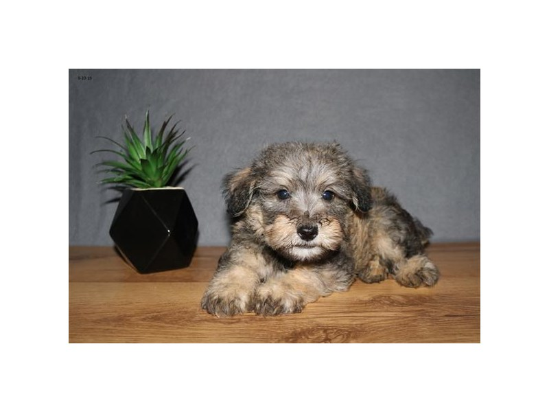 Schnoodle-Male-Sable-2443318-The Barking Boutique