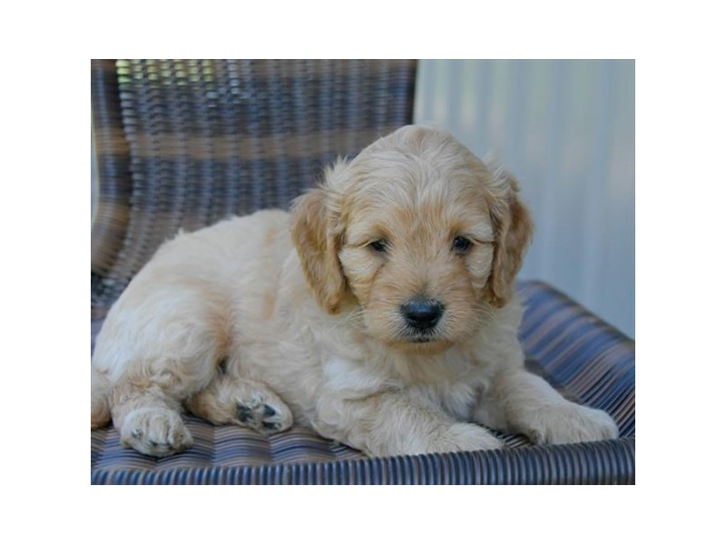 F1B Mini Goldendoodle – Home School