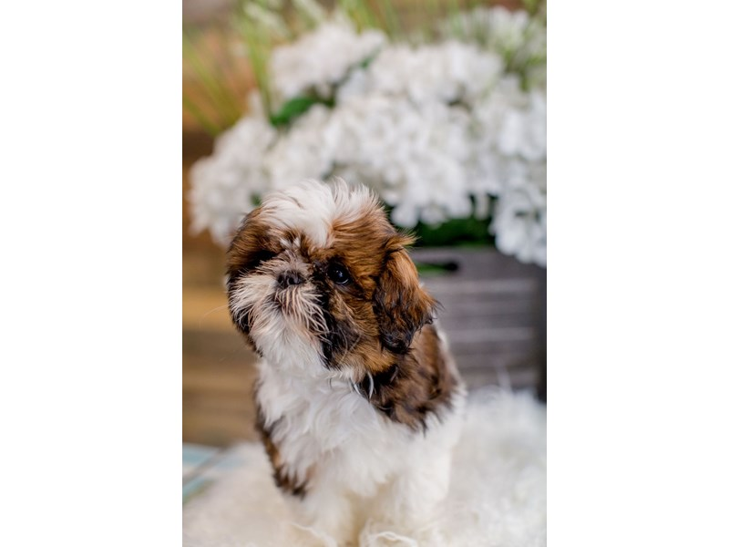 Shih Tzu-Female-Red / White-2443313-The Barking Boutique