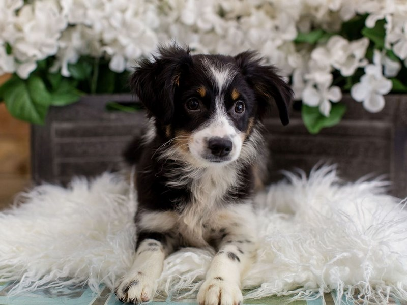 Miniature Australian Shepherd-Female-Black White / Tan-2443307-The Barking Boutique