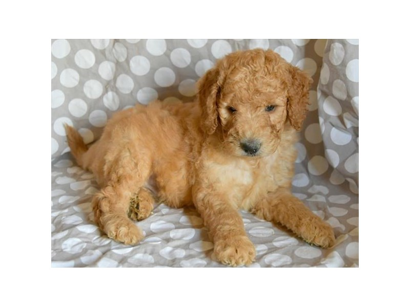 F1B Goldendoodle-Male-Apricot-2449170-The Barking Boutique