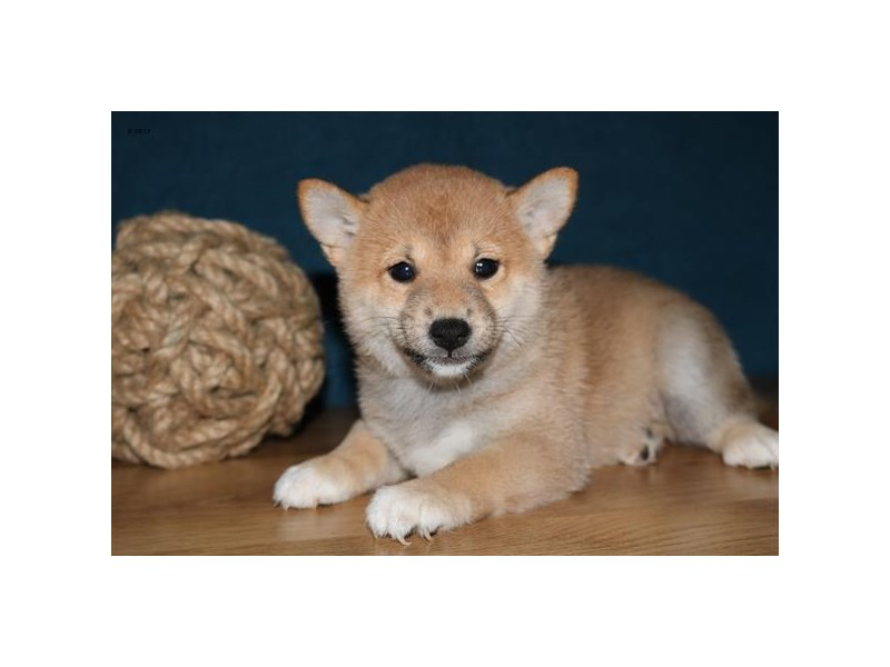 Shiba Inu-Male-Red-2449172-The Barking Boutique