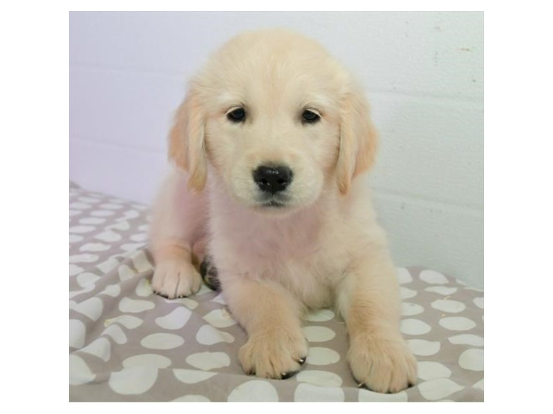 Golden Retriever-Female-Light Golden-2449175-The Barking Boutique