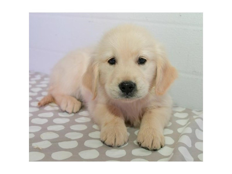 Golden Retriever – Salem