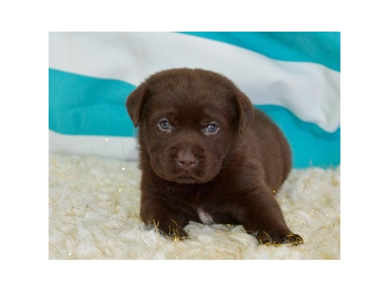 Labrador Retriever-Male-Chocolate-2449177-The Barking Boutique