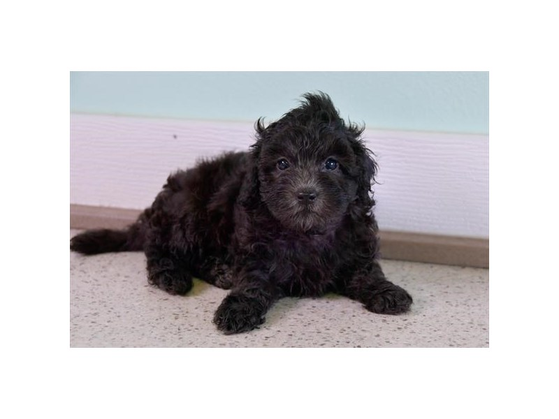 F1B Mini Goldendoodle-Female-Black-2449180-The Barking Boutique