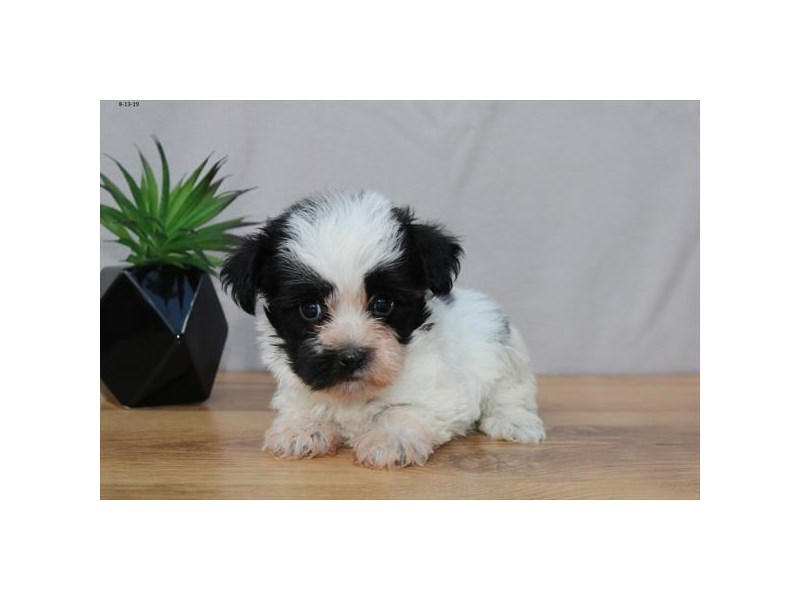 Havanese-Male-Black / White-2449182-The Barking Boutique