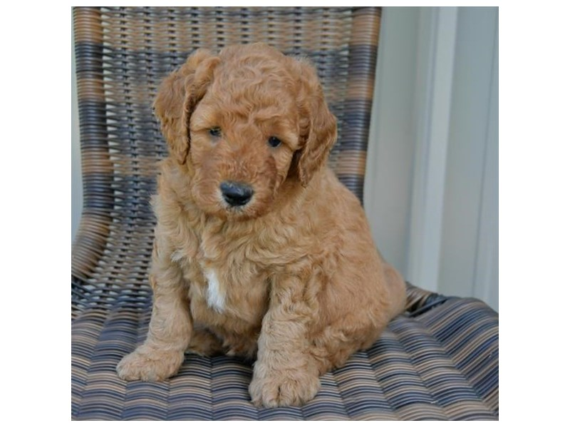 F1B Mini Goldendoodle-Male-Red-2449346-The Barking Boutique