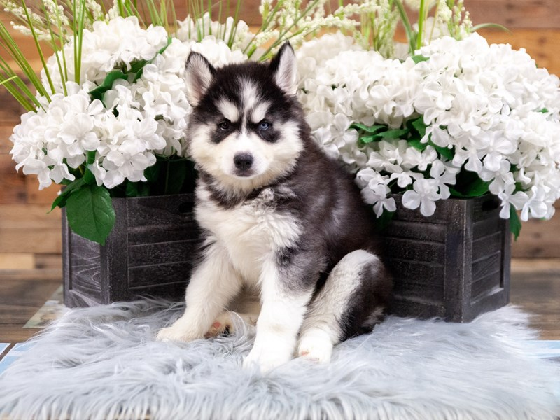 Siberian Husky-Female-Black / White-2449171-The Barking Boutique