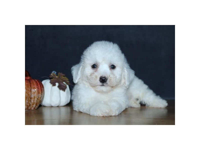 Bichon Frise-Male-White-2455616-The Barking Boutique