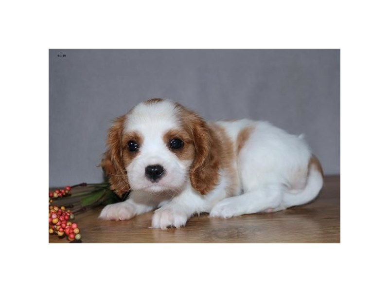 Cavalier King Charles Spaniel-Male-Blenheim-2455617-The Barking Boutique