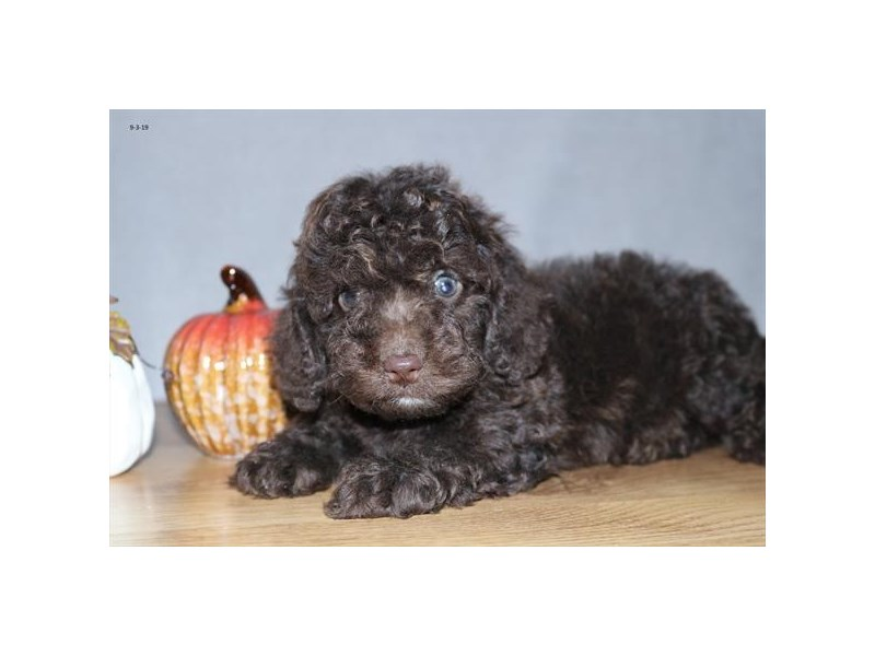 F1b Cockapoo-Female-Chocolate-2455618-The Barking Boutique