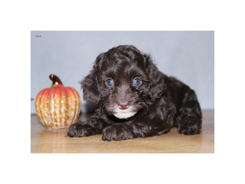F1b Cockapoo – Teddy Bear