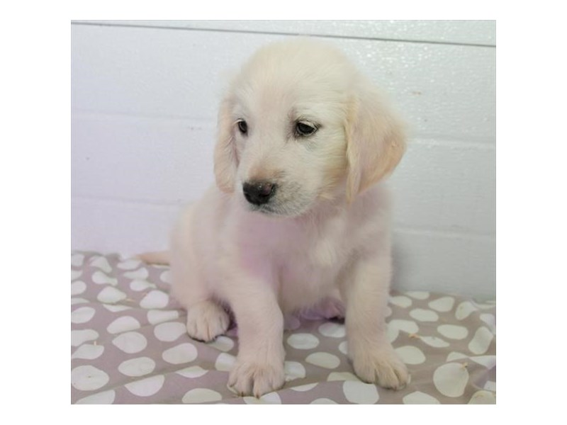 Golden Retriever-Female-Light Golden-2455620-The Barking Boutique