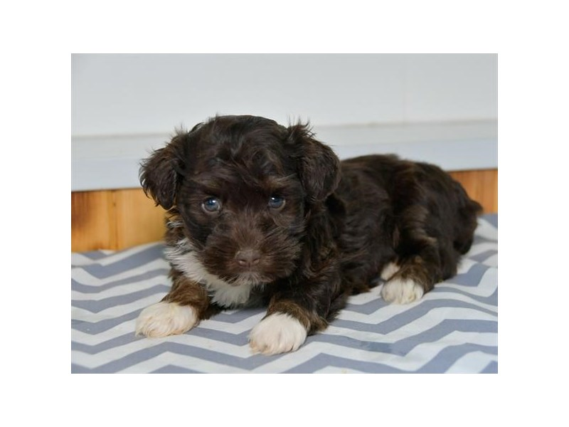 Havanese-Female-Chocolate / White-2455626-The Barking Boutique