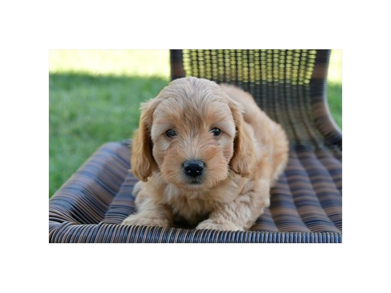 F1B Mini Goldendoodle-Female-Apricot-2455628-The Barking Boutique