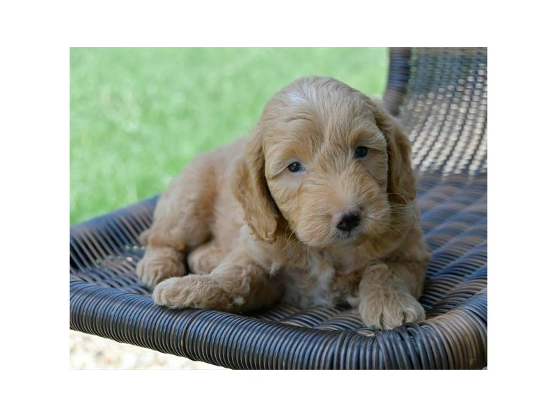 F1B Mini Goldendoodle-Male-Apricot-2455630-The Barking Boutique