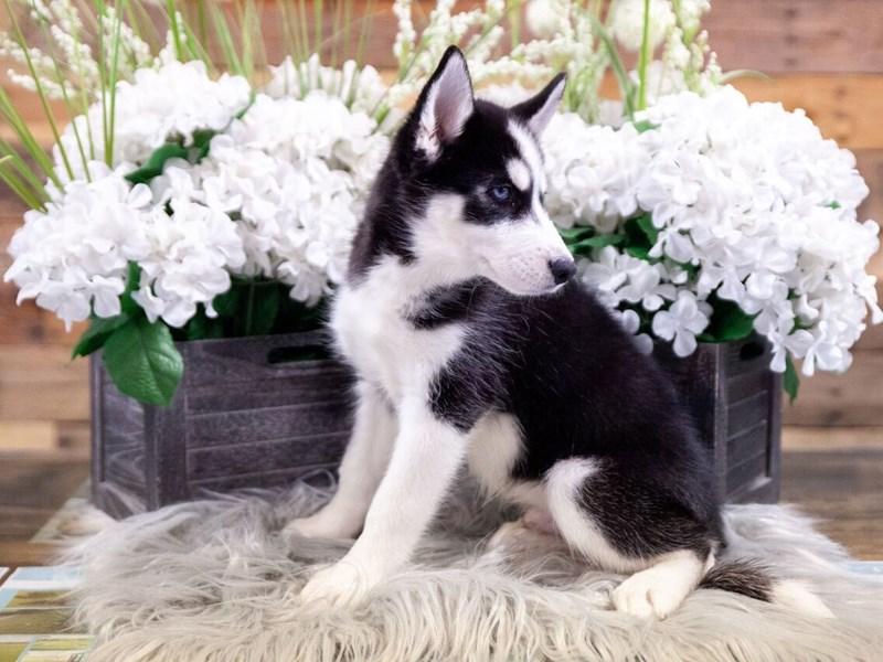 Siberian Husky-Male-Black / White-2449181-The Barking Boutique