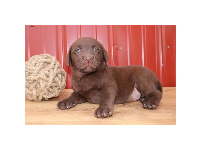 Labrador Retriever-Female-Chocolate-2461728-The Barking Boutique