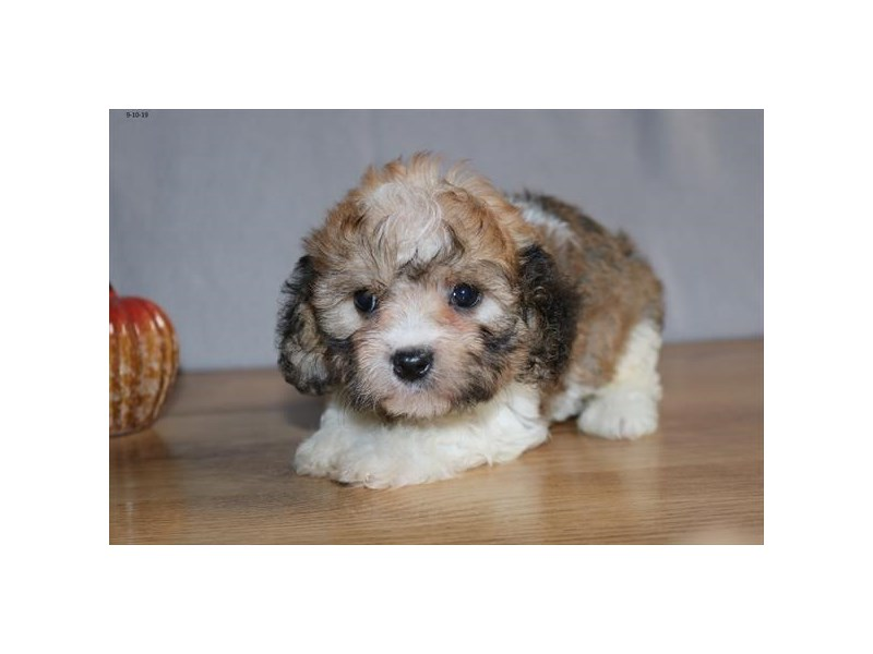 Cavachon-Female-Sable / White-2461731-The Barking Boutique