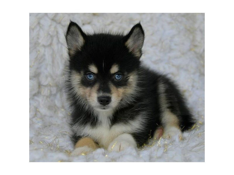 Pomsky-Male-Black / Tan-2461733-The Barking Boutique