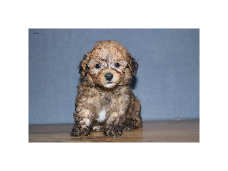 Poodle-Male-Sable-2461734-The Barking Boutique