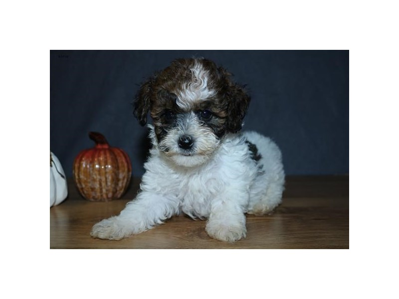 Schnoodle-Female-Sable / White-2467800-The Barking Boutique