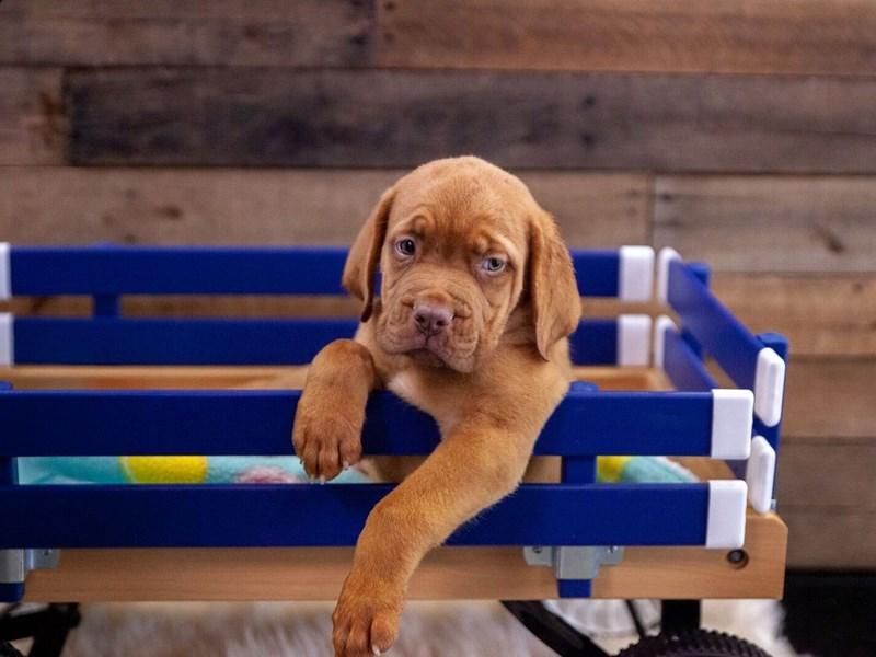 Dogue De Bordeaux-Male-Red-2412876-The Barking Boutique