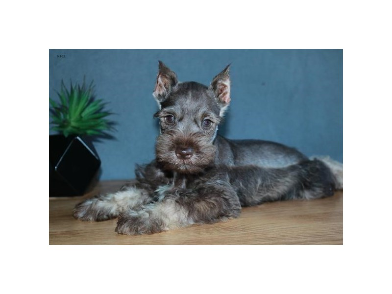Miniature Schnauzer – Butter Bear