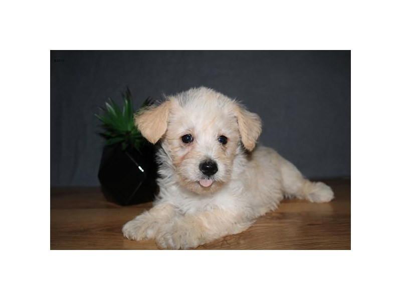 Schnoodle-Female-Cream-2455624-The Barking Boutique