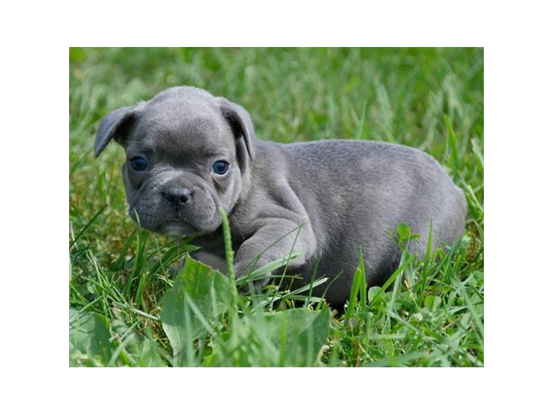 French Bulldog-Male-Blue-2461726-The Barking Boutique