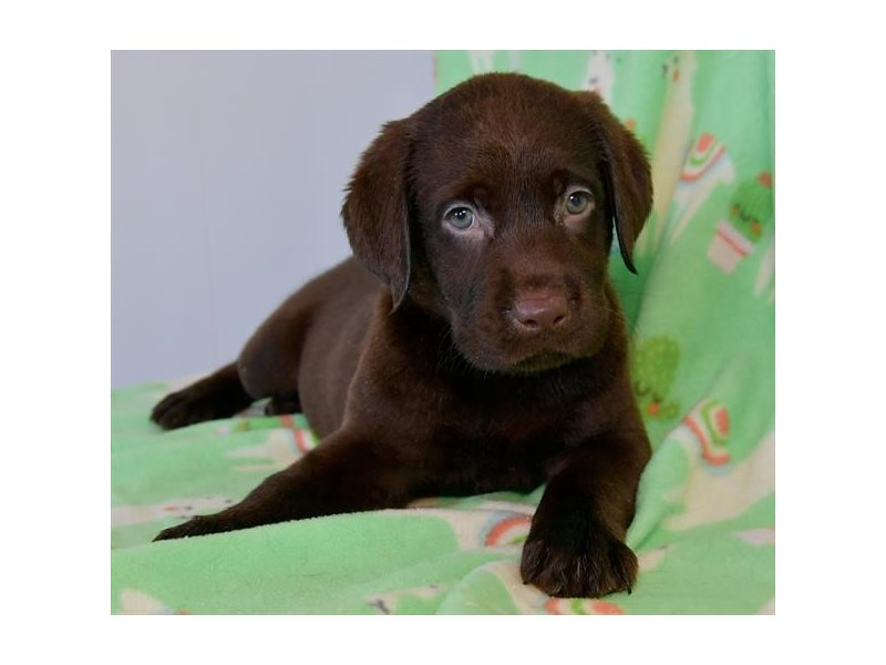 Labrador Retriever-Female-Chocolate-2467762-The Barking Boutique