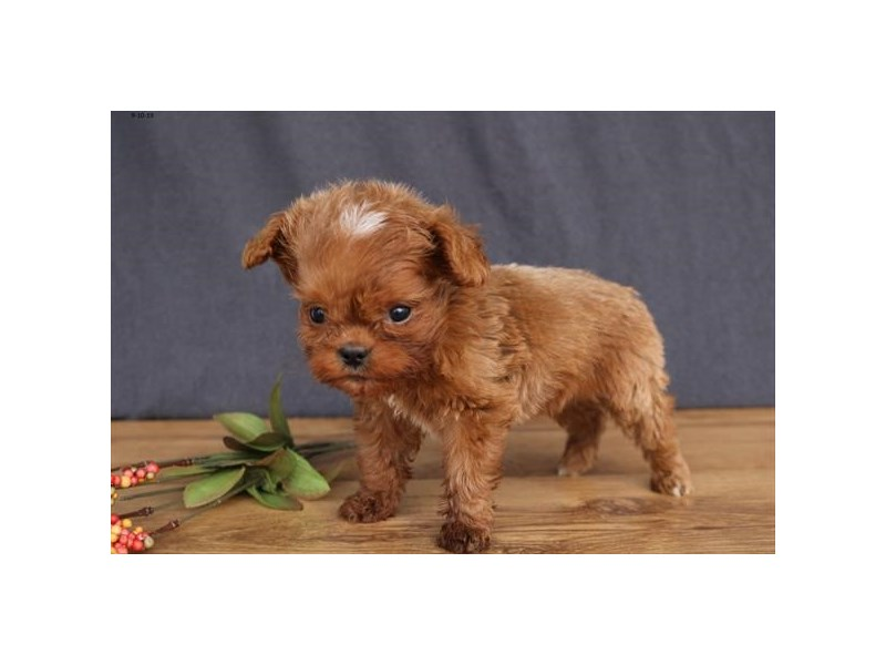 English Toy Spaniel/Poodle – Alvin