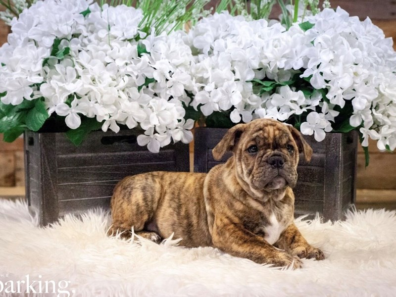 Victorian Bulldoge-Male-Brindle-2467764-The Barking Boutique