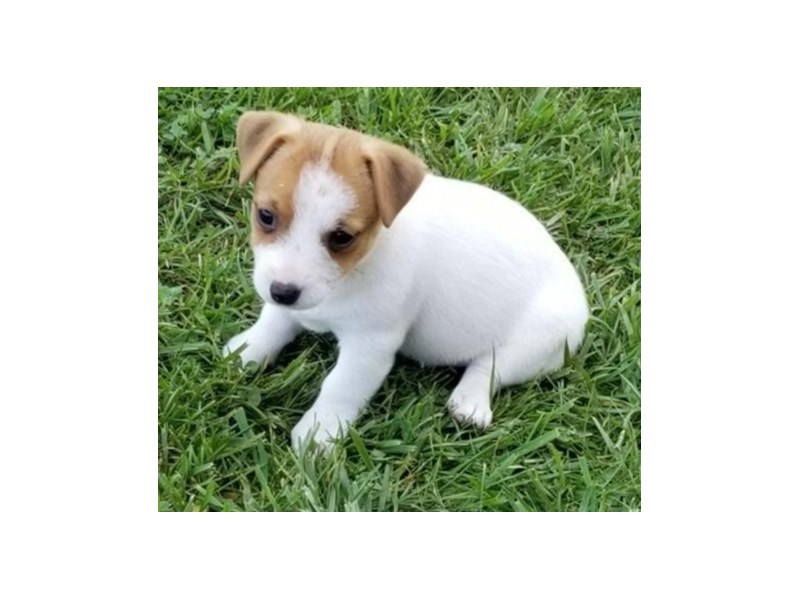 Jack Russell Terrier-Female-White / Tan-2474056-The Barking Boutique