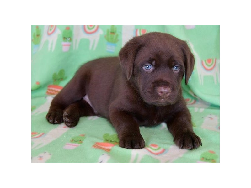 Labrador Retriever-Male-Chocolate-2474058-The Barking Boutique