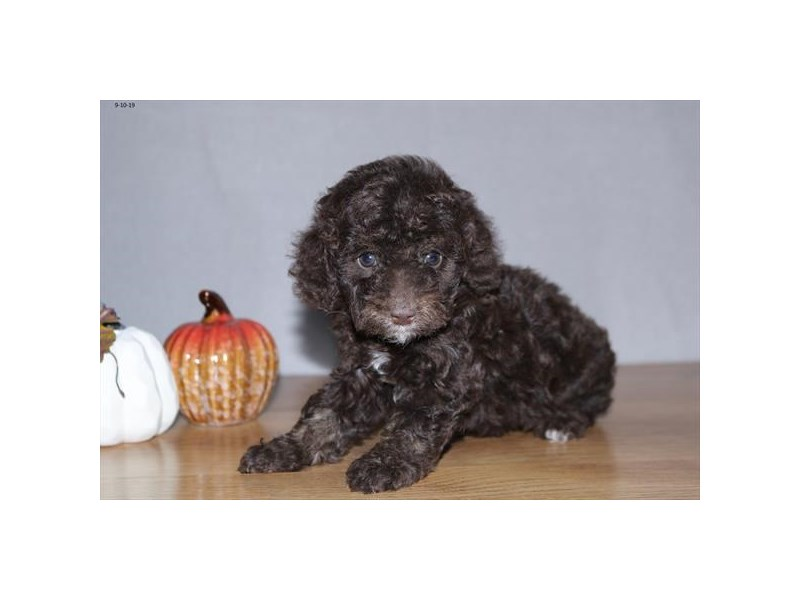 F1b Cockapoo-Female-Chocolate-2474064-The Barking Boutique