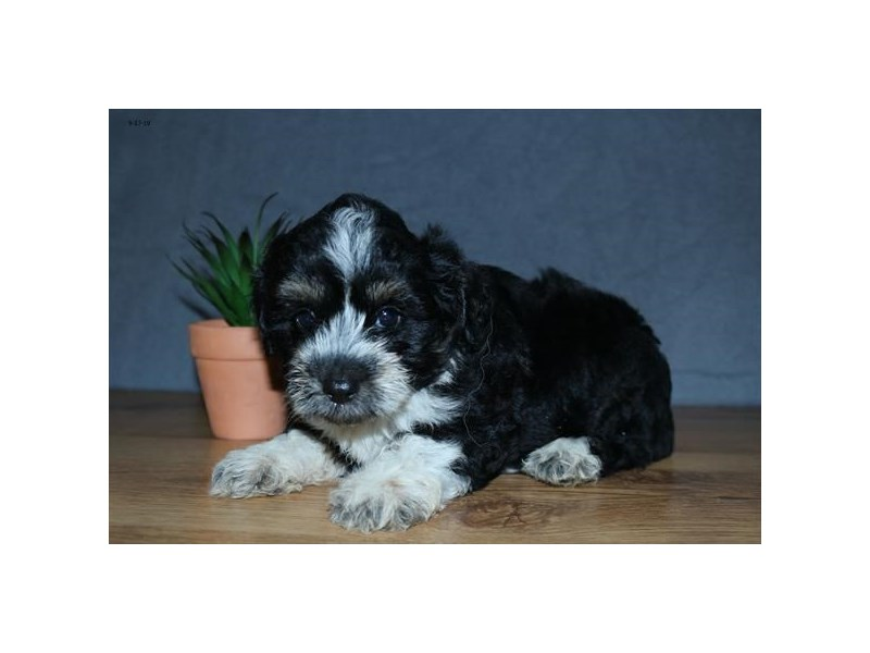 Aussiepoo-Female-Black / White-2474251-The Barking Boutique